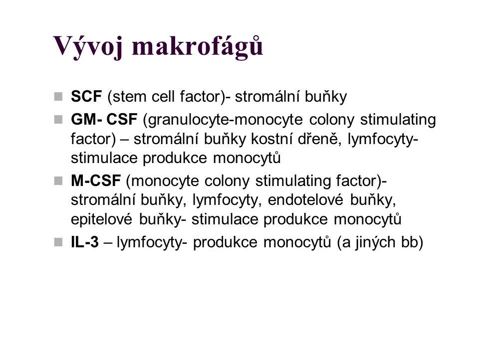 Vývoj makrofágů SCF (stem cell factor)- stromální buňky GM- CSF (granulocyte-monocyte colony stimulating factor) – stromální buňky kostní dřeně, lymfo