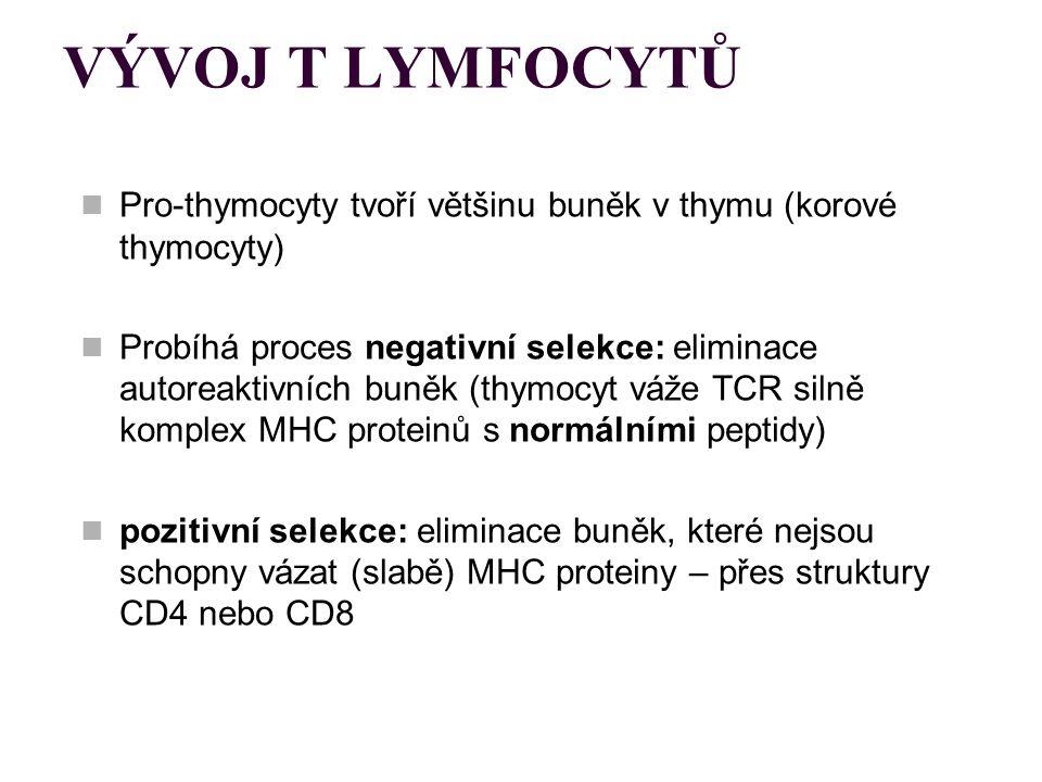 VÝVOJ T LYMFOCYTŮ Pro-thymocyty tvoří většinu buněk v thymu (korové thymocyty) Probíhá proces negativní selekce: eliminace autoreaktivních buněk (thym