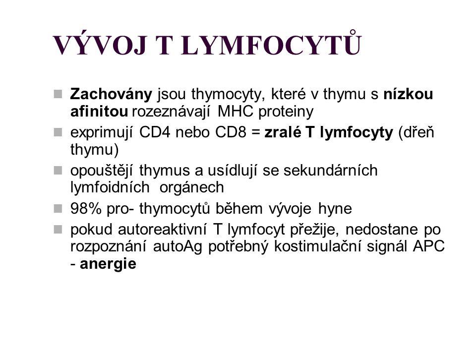 VÝVOJ T LYMFOCYTŮ Zachovány jsou thymocyty, které v thymu s nízkou afinitou rozeznávají MHC proteiny exprimují CD4 nebo CD8 = zralé T lymfocyty (dřeň
