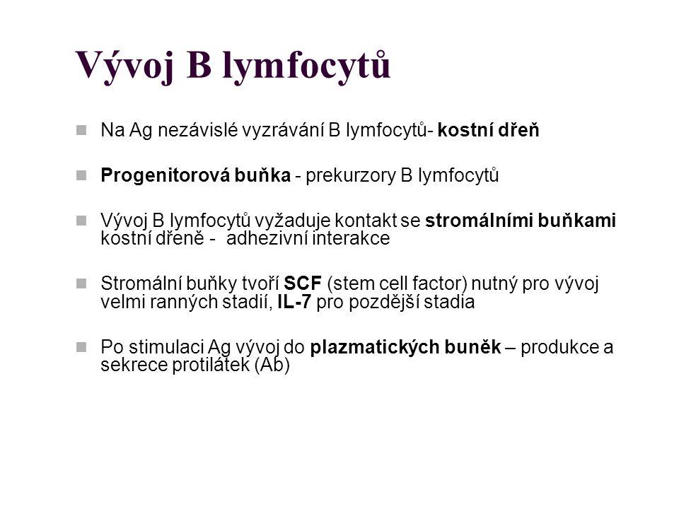 Vývoj B lymfocytů Na Ag nezávislé vyzrávání B lymfocytů- kostní dřeň Progenitorová buňka - prekurzory B lymfocytů Vývoj B lymfocytů vyžaduje kontakt s