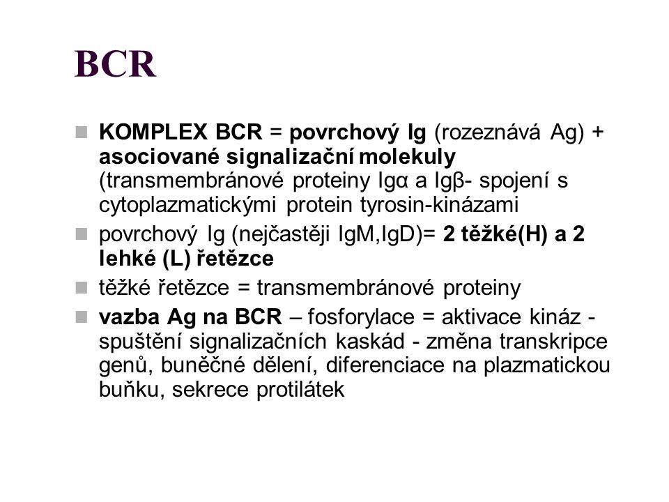 BCR KOMPLEX BCR = povrchový Ig (rozeznává Ag) + asociované signalizační molekuly (transmembránové proteiny Igα a Igβ- spojení s cytoplazmatickými prot