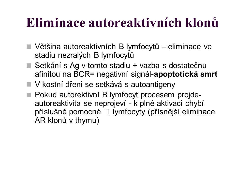 Eliminace autoreaktivních klonů Většina autoreaktivních B lymfocytů – eliminace ve stadiu nezralých B lymfocytů Setkání s Ag v tomto stadiu + vazba s