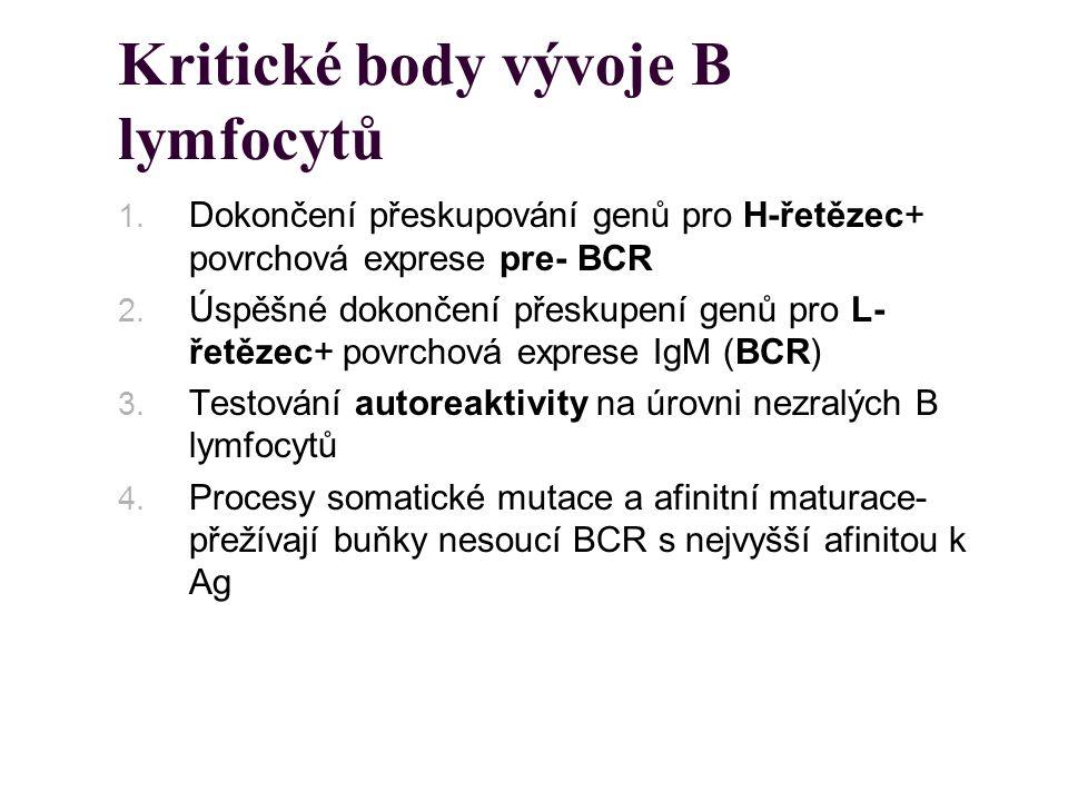 Kritické body vývoje B lymfocytů 1. Dokončení přeskupování genů pro H-řetězec+ povrchová exprese pre- BCR 2. Úspěšné dokončení přeskupení genů pro L-