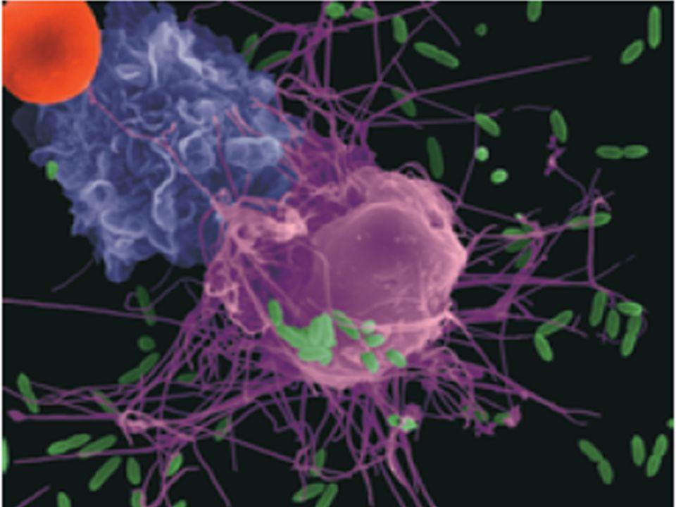 Funkce B lymfocytů Produkce protilátek proti antigenům Prezentace Ag-u T lymfocytům Spolupráce s komplementem