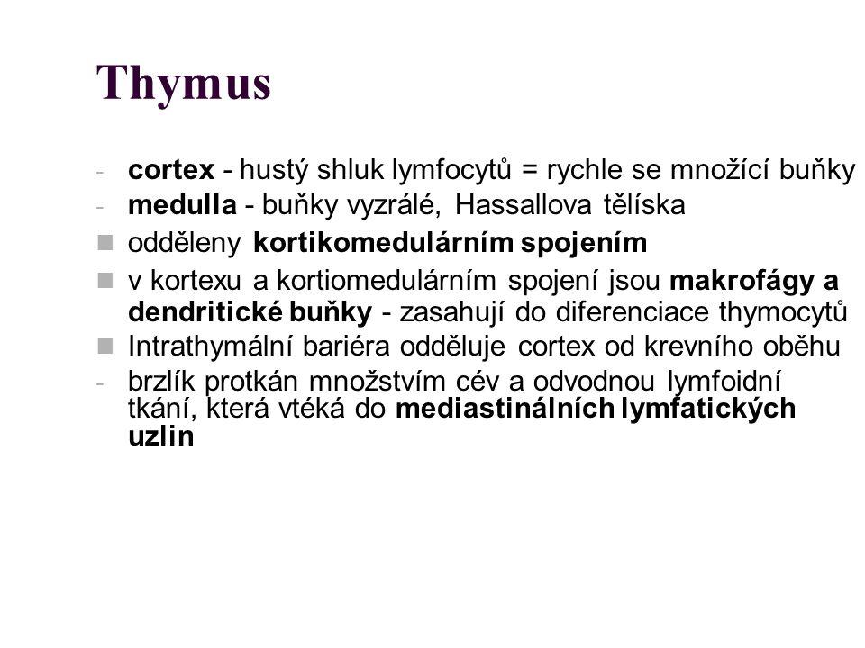 Thymus - cortex - hustý shluk lymfocytů = rychle se množící buňky - medulla - buňky vyzrálé, Hassallova tělíska odděleny kortikomedulárním spojením v