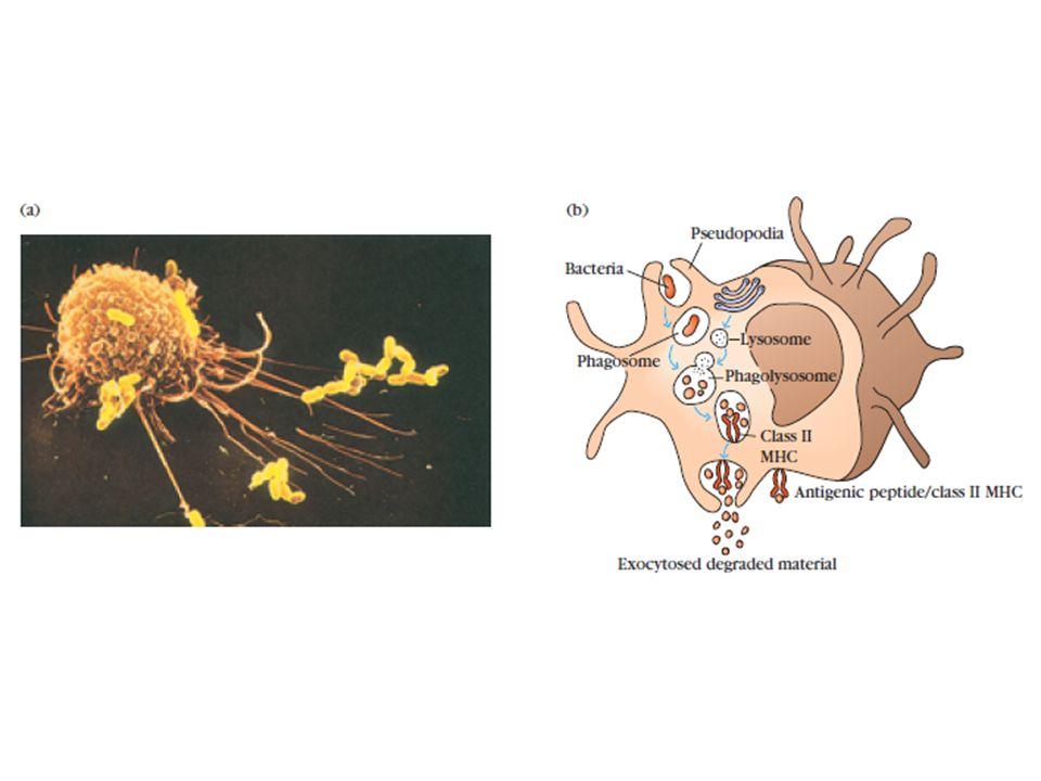 19. Sekundární imunitní orgány- struktura a funkce lymfatické uzliny a sleziny