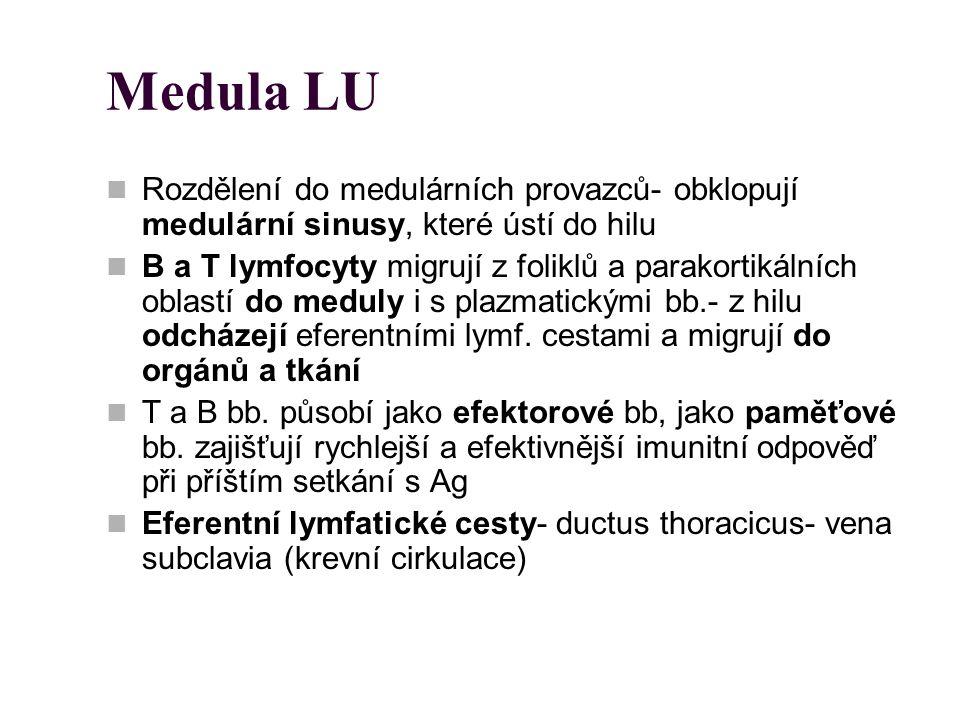 Medula LU Rozdělení do medulárních provazců- obklopují medulární sinusy, které ústí do hilu B a T lymfocyty migrují z foliklů a parakortikálních oblas