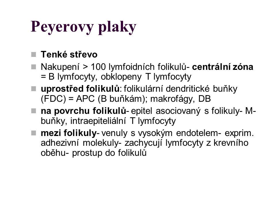 Peyerovy plaky Tenké střevo Nakupení > 100 lymfoidních folikulů- centrální zóna = B lymfocyty, obklopeny T lymfocyty uprostřed folikulů: folikulární d