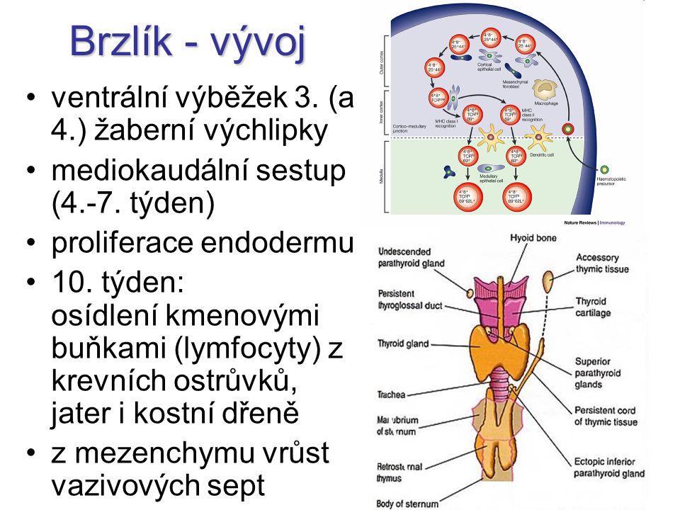 ventrální výběžek 3. (a 4.) žaberní výchlipky mediokaudální sestup (4.-7. týden) proliferace endodermu 10. týden: osídlení kmenovými buňkami (lymfocyt