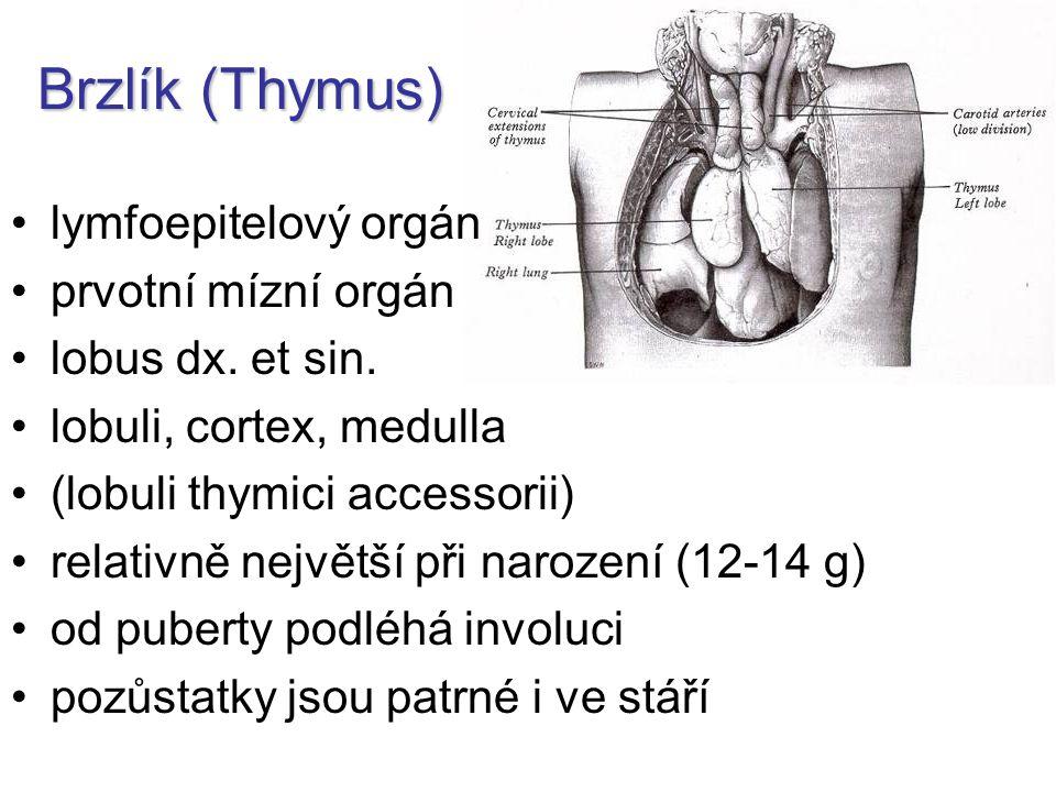 Brzlík (Thymus) lymfoepitelový orgán prvotní mízní orgán lobus dx. et sin. lobuli, cortex, medulla (lobuli thymici accessorii) relativně největší při