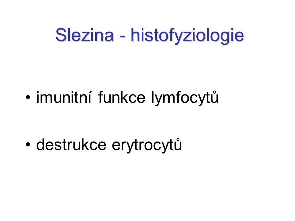Slezina - histofyziologie imunitní funkce lymfocytů destrukce erytrocytů