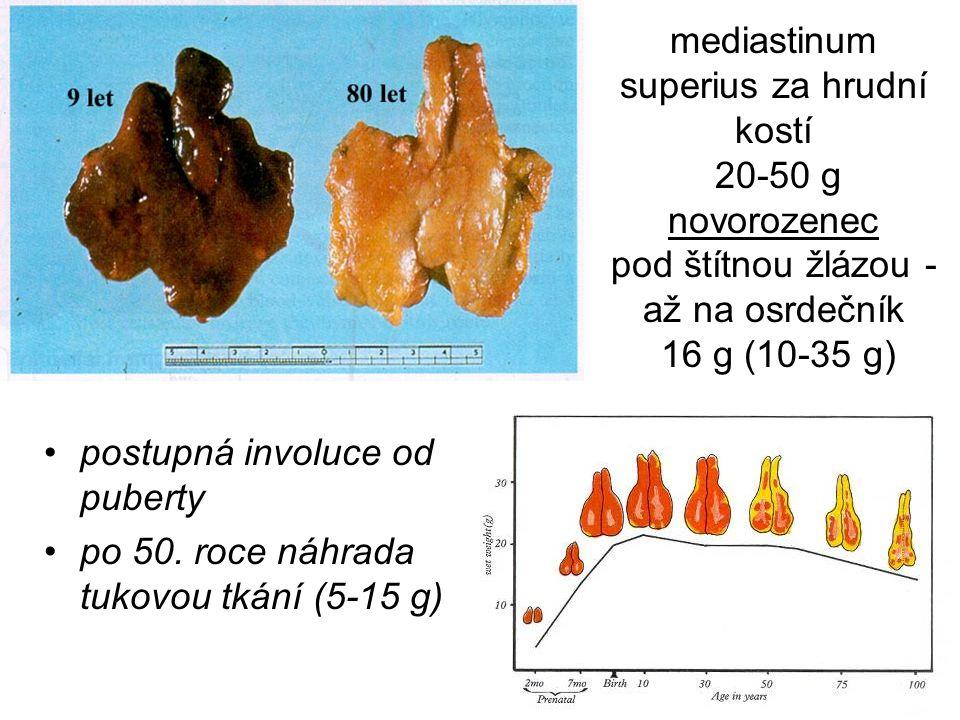 mediastinum superius za hrudní kostí 20-50 g novorozenec pod štítnou žlázou - až na osrdečník 16 g (10-35 g) postupná involuce od puberty po 50. roce