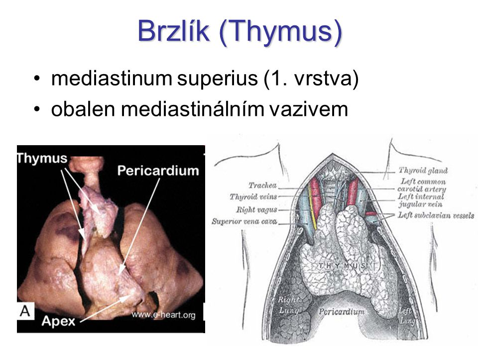 Brzlík (Thymus) mediastinum superius (1. vrstva) obalen mediastinálním vazivem