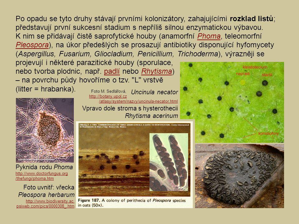 Uncinula necator Vpravo dole stroma s hysterothecii Rhytisma acerinum Po opadu se tyto druhy stávají prvními kolonizátory, zahajujícími rozklad listů; představují první sukcesní stadium s nepříliš silnou enzymatickou výbavou.