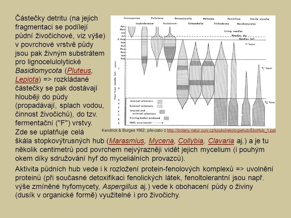 Zde se uplatňuje celá škála stopkovýtrusných hub (Marasmius, Mycena, Collybia, Clavaria aj.) a je tu několik centimetrů pod povrchem nejvýrazněji vidět jejich mycelium (i pouhým okem díky sdružování hyf do myceliálních provazců).MarasmiusMycenaCollybiaClavaria Aktivita půdních hub vede i k rozložení protein-fenolových komplexů => uvolnění proteinů (při současné detoxifikaci fenolických látek, fenoltolerantní jsou např.