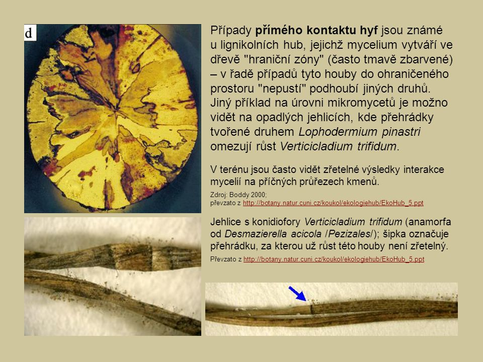 Případy přímého kontaktu hyf jsou známé u lignikolních hub, jejichž mycelium vytváří ve dřevě hraniční zóny (často tmavě zbarvené) – v řadě případů tyto houby do ohraničeného prostoru nepustí podhoubí jiných druhů.