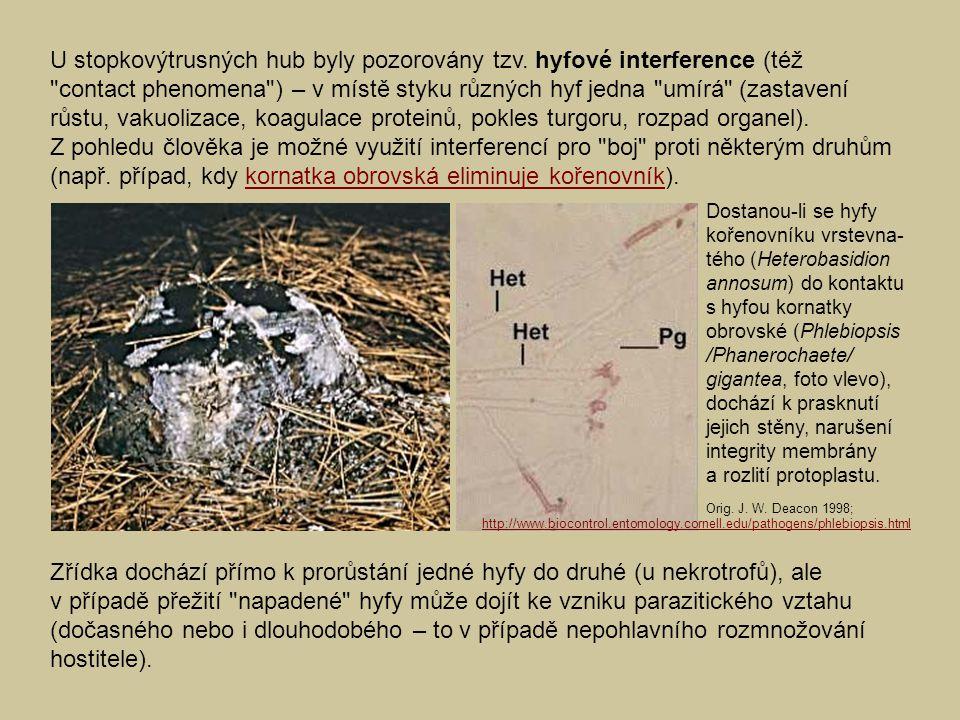 U stopkovýtrusných hub byly pozorovány tzv. hyfové interference (též