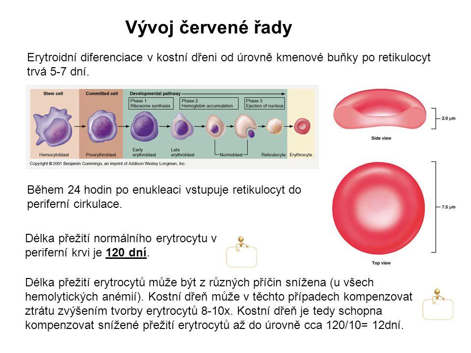 Vývoj červené řady Během 24 hodin po enukleaci vstupuje retikulocyt do periferní cirkulace. Erytroidní diferenciace v kostní dřeni od úrovně kmenové b