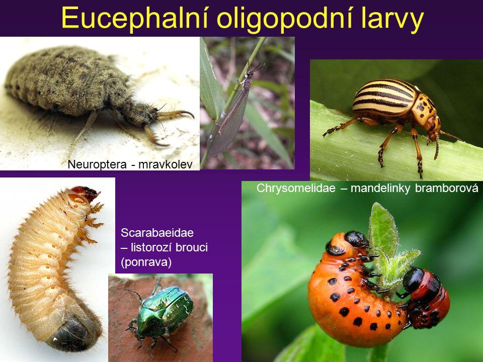 Eucephalní oligopodní larvy Scarabaeidae – listorozí brouci (ponrava) Neuroptera - mravkolev Chrysomelidae – mandelinky bramborová