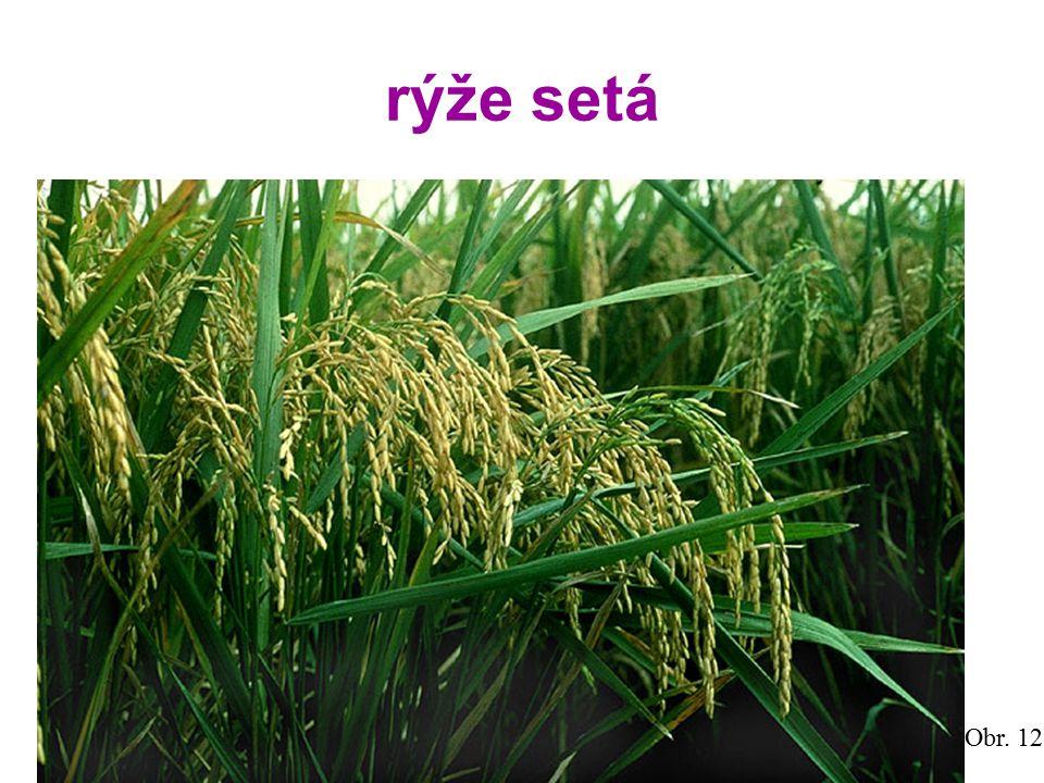 rýže setá Obr. 12