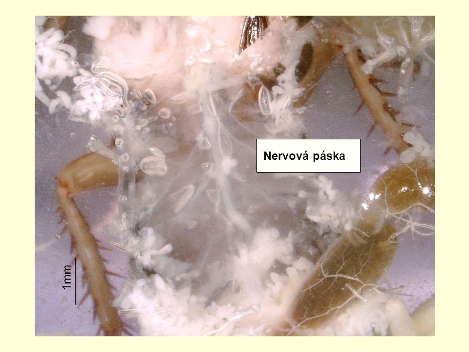 Nervová páska