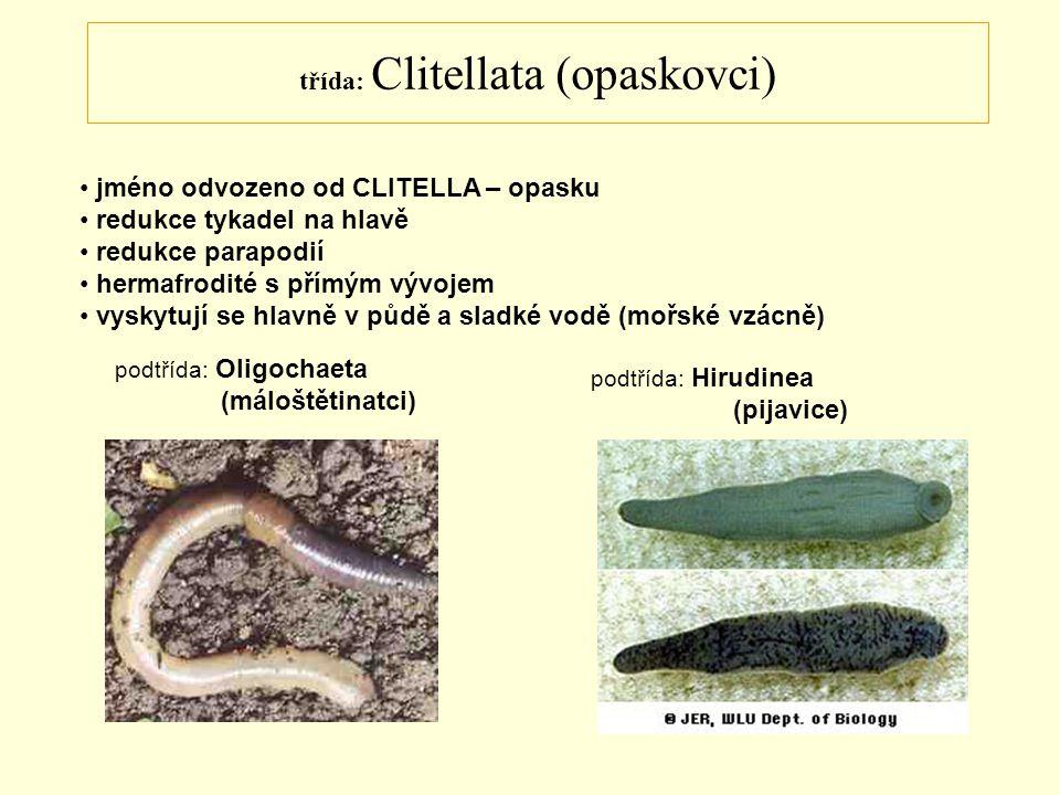 třída: Clitellata (opaskovci) jméno odvozeno od CLITELLA – opasku redukce tykadel na hlavě redukce parapodií hermafrodité s přímým vývojem vyskytují s
