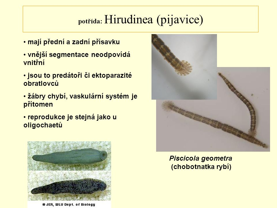 potřída: Hirudinea (pijavice) mají přední a zadní přísavku vnější segmentace neodpovídá vnitřní jsou to predátoři či ektoparazité obratlovců žábry chy