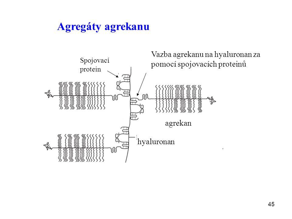 45 Agregáty agrekanu agrekan hyaluronan Spojovací protein Vazba agrekanu na hyaluronan za pomocí spojovacích proteinů
