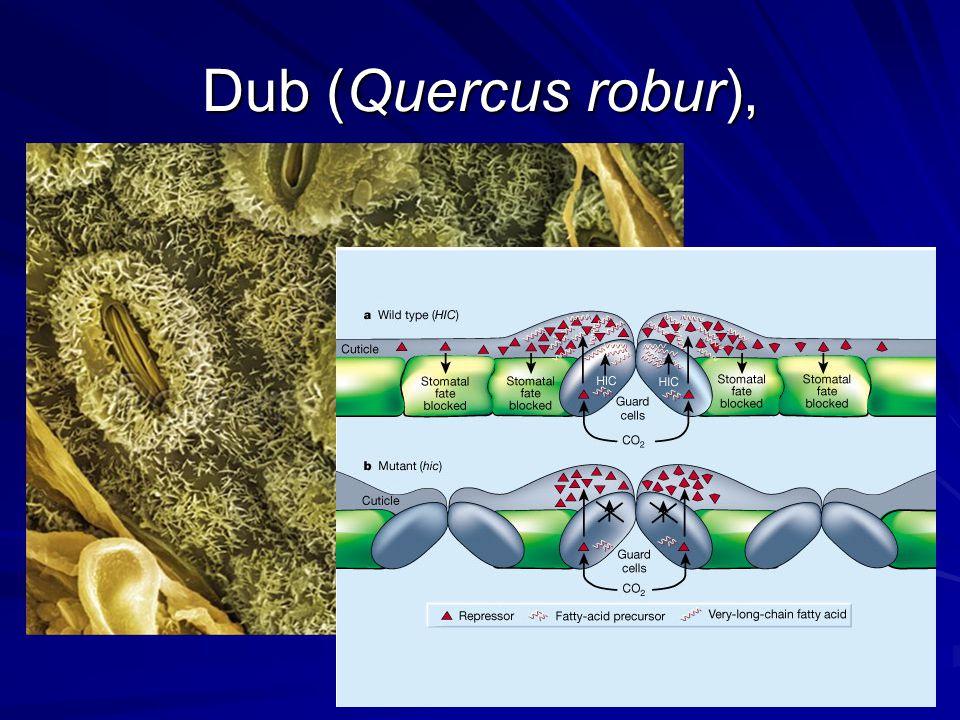 Dub (Quercus robur),