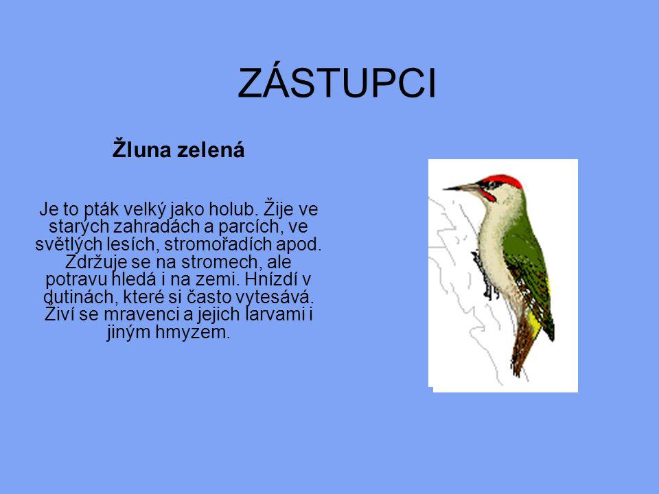 ZÁSTUPCI Žluna zelená Je to pták velký jako holub. Žije ve starých zahradách a parcích, ve světlých lesích, stromořadích apod. Zdržuje se na stromech,