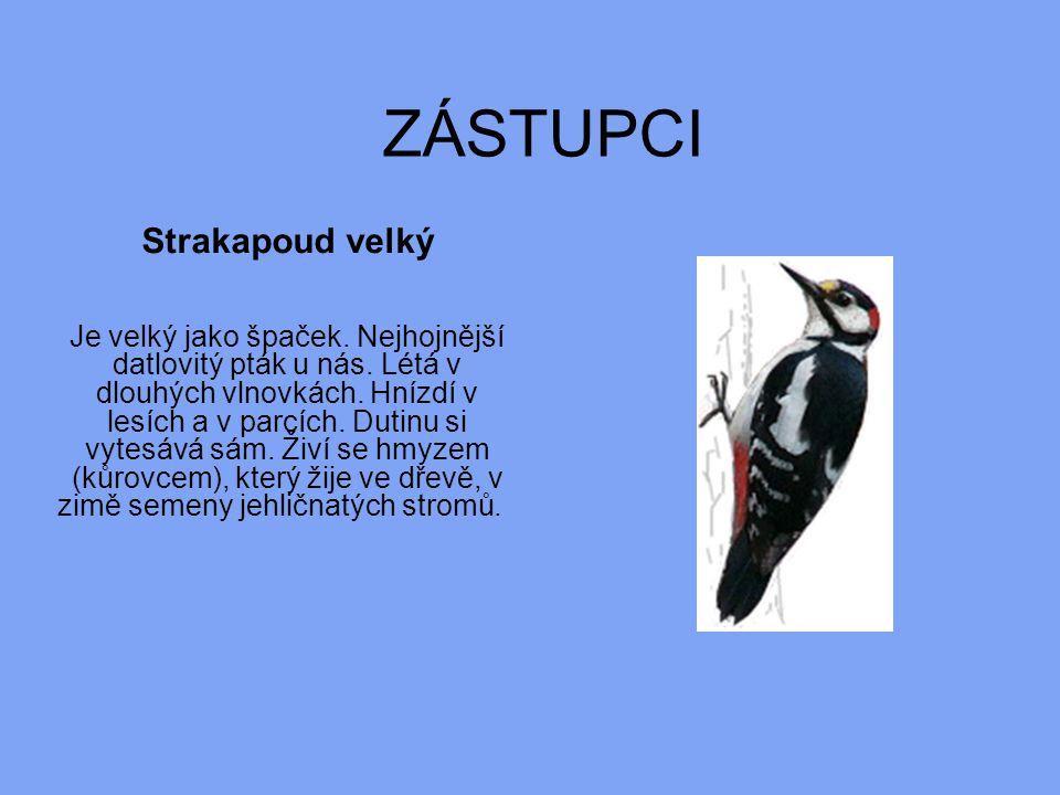 ZÁSTUPCI Strakapoud velký Je velký jako špaček. Nejhojnější datlovitý pták u nás. Létá v dlouhých vlnovkách. Hnízdí v lesích a v parcích. Dutinu si vy