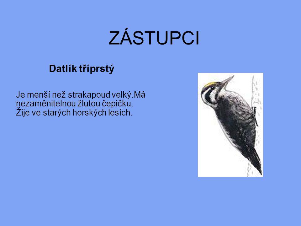 ZÁSTUPCI Datlík tříprstý Je menší než strakapoud velký.Má nezaměnitelnou žlutou čepičku. Žije ve starých horských lesích.