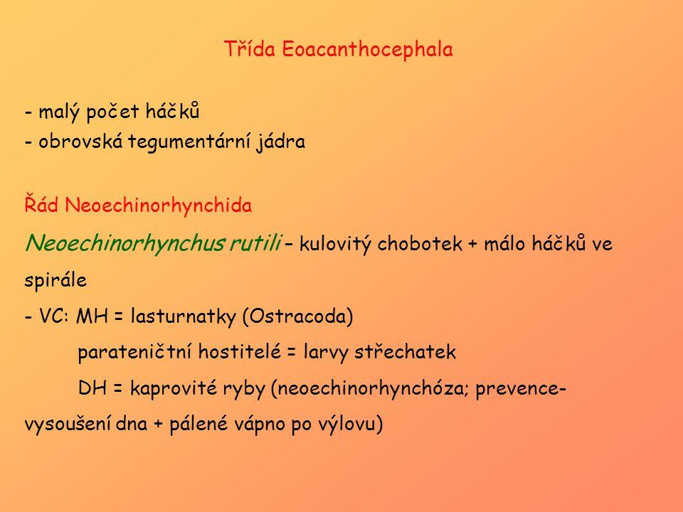 Třída Eoacanthocephala - malý počet háčků - obrovská tegumentární jádra Řád Neoechinorhynchida Neoechinorhynchus rutili – kulovitý chobotek + málo háč
