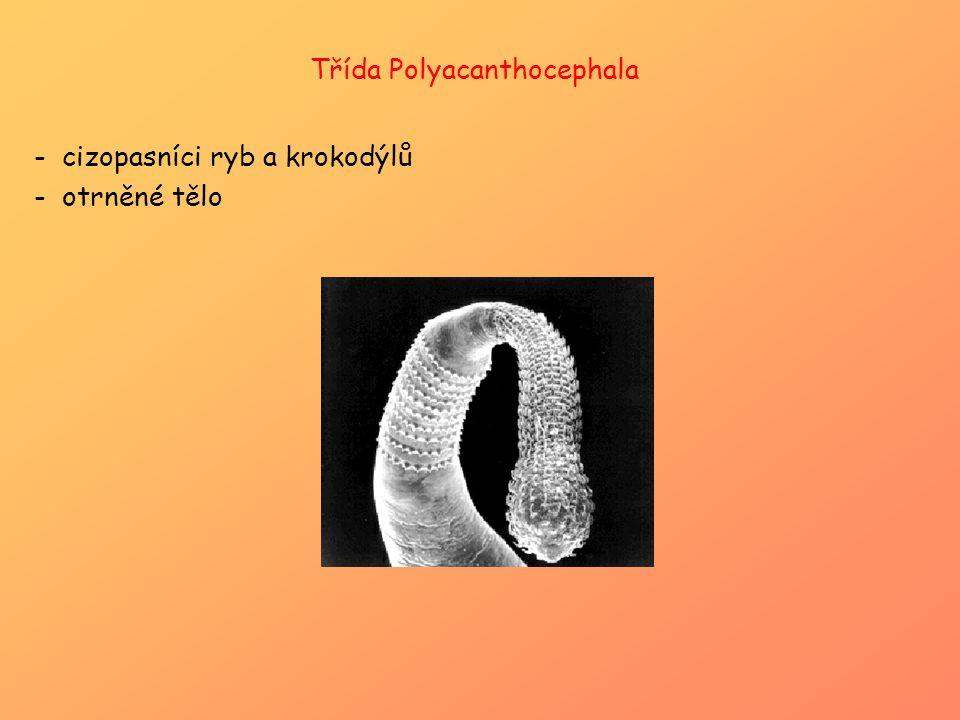 Třída Polyacanthocephala -cizopasníci ryb a krokodýlů -otrněné tělo