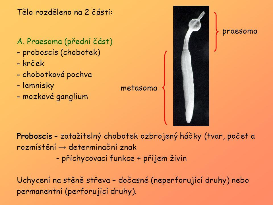 Tělo rozděleno na 2 části: A. Praesoma (přední část) - proboscis (chobotek) - krček - chobotková pochva - lemnisky - mozkové ganglium Proboscis – zata