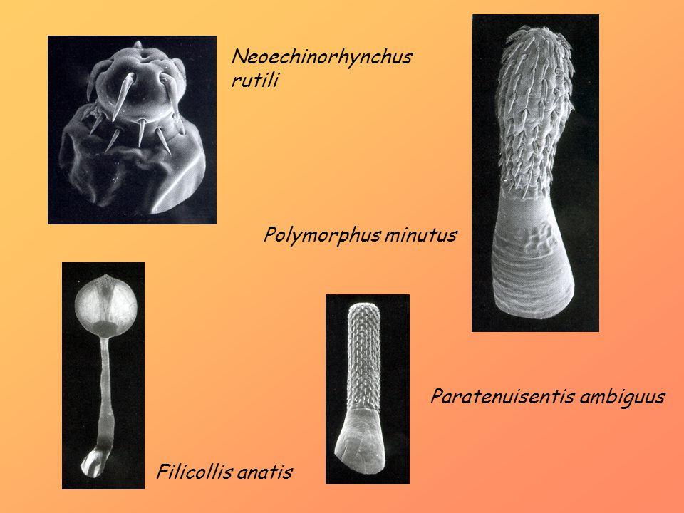 Neoechinorhynchus rutili Polymorphus minutus Filicollis anatis Paratenuisentis ambiguus