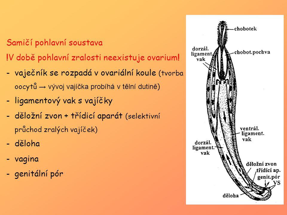 Samičí pohlavní soustava !V době pohlavní zralosti neexistuje ovarium! -vaječník se rozpadá v ovariální koule (tvorba oocytů → vývoj vajíčka probíhá v