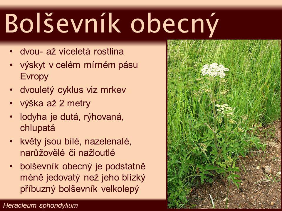dvou- až víceletá rostlina výskyt v celém mírném pásu Evropy dvouletý cyklus viz mrkev výška až 2 metry lodyha je dutá, rýhovaná, chlupatá květy jsou