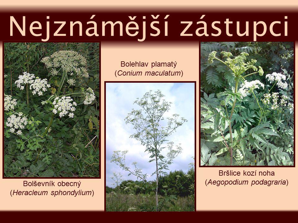 dvouletá bylina, pěstovaná jako kořenová zelenina blízkým příbuzným je pastinák první rok vytváří růžici listů a v mohutném kořeni shromažďuje živiny, druhý rok vyžene lodyhu s okoličnatým květenstvím původ v jižní Asii, dnes se pěstuje po celém světě za červenou barvu kořene může betakaroten mrkev se používá též v léčitelství Mrkev obecná Daucus carota
