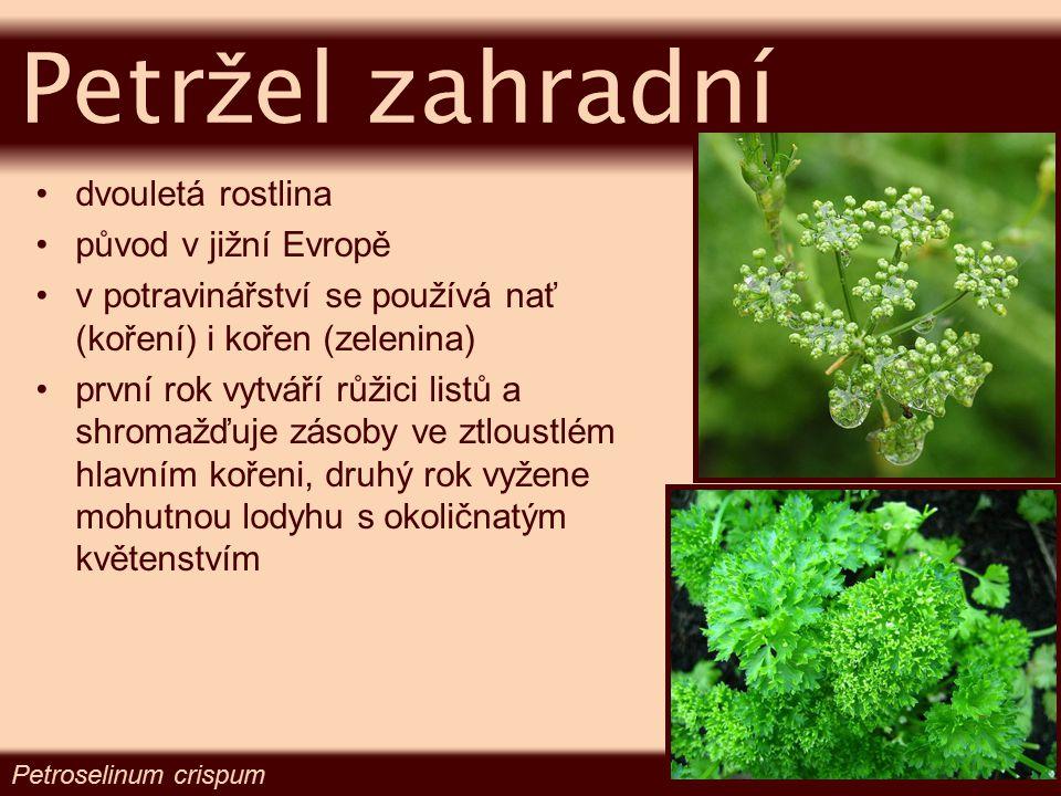 dvouletá rostlina původ v jižní Evropě v potravinářství se používá nať (koření) i kořen (zelenina) první rok vytváří růžici listů a shromažďuje zásoby