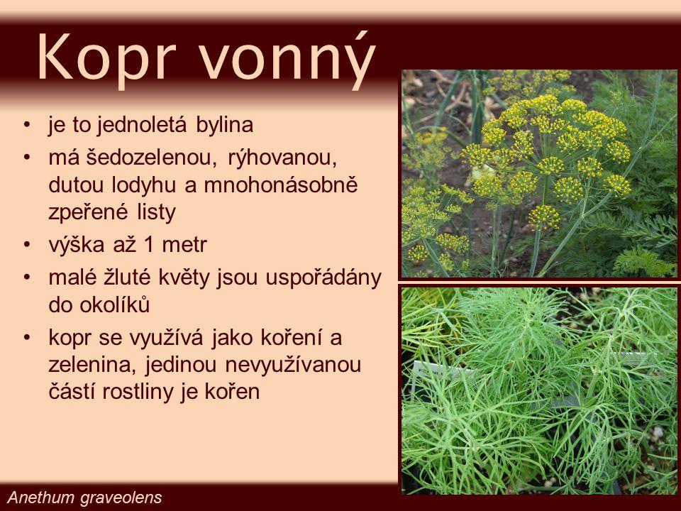 je to jednoletá bylina má šedozelenou, rýhovanou, dutou lodyhu a mnohonásobně zpeřené listy výška až 1 metr malé žluté květy jsou uspořádány do okolík