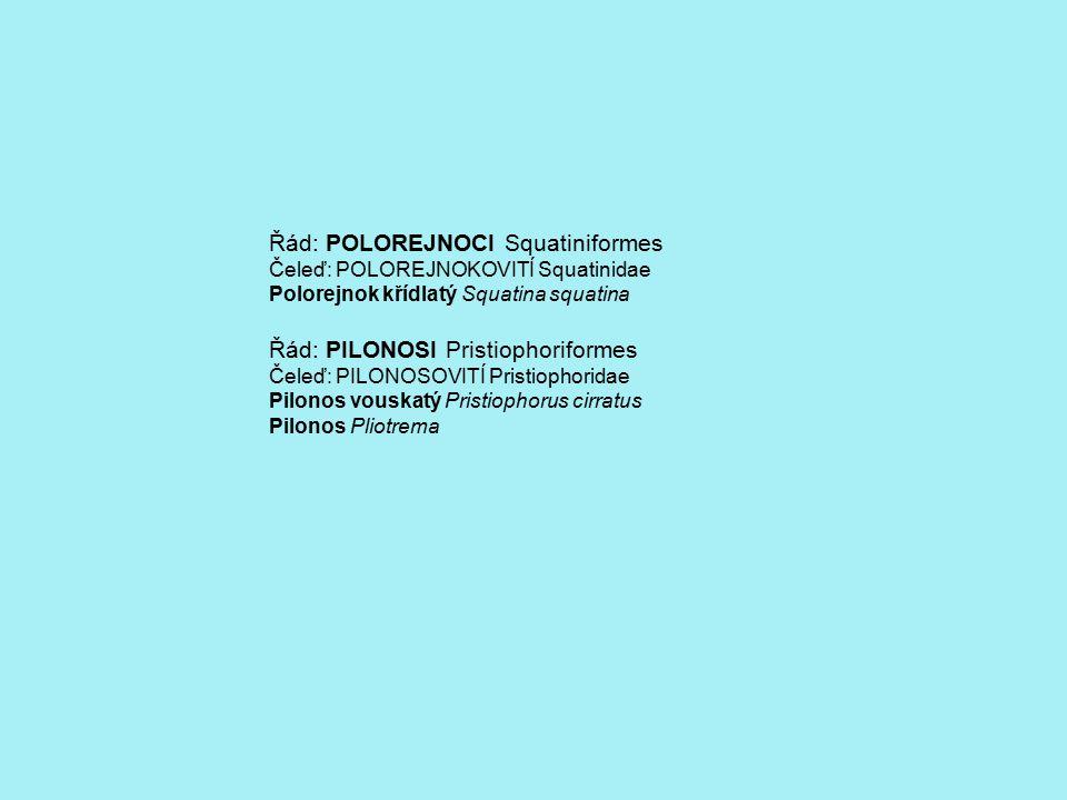 Řád: REJNOCI Rajiformes Čeleď: PILOUNOVITÍ Pristidae Piloun obecný Pristis pristis Čeleď: PAREJNOKOVITÍ Torpedinidae Parejnok elektrický Torpedo marmota Parejnok okatý Torpedo torpedo Parejnok atlantský Torpedo nobiliana Čeleď: NARCINOVITÍ Narcinidae Narcina brazilská Narcina brasiliensis Čeleď: PILOHŘBETOVITÍ Rhinobatidae Pilohřbet obecný Rhinobatos rhinobatos Pilohřbet váhavý Rhinobatus lentiginosus Čeleď: REJNOKOVITÍ Rajidae Rejnok ostnatý Raja clavata Rejnok dvouskvrnný Raja naevus Rejnok běloskvrnný Rhinoraja odai Rejnok světloskvrnný Raja microocellata Rejnok hladký Raja batis Rejnok krátkoocasý Brachyraja brachyurops Rejnok písečný Raja circularis Čeleď: TRNUCHOVITÍ Dasyatidae Trnucha obecná Dasyatis pastinaca Trnucha atlantská Dasyatis sabina Trnucha leopardí Himantura (Dasyatis) uarnak Trnucha modroskvrnná Taeniura lymna Trnucha amazonská (říční) Potamotrygon motoro Čeleď: TLUSTOOCASKOVITÍ Urolophidae Tlustoocaska Hallerova Urobatus (Urolophus) Halleri Čeleď: KŘÍDLOUNOVITÍ Gymnuridae Křídloun japonský Gymnura japonova Čeleď: MANTOVITÍ Myliobatidae Siba deskozubá Myliobatis aquila Siba kalifornská Myliobatis californica Siba býčí Pteromylaeus bovinus Siba skvrnitá Aetobathus narinari Manta velká Mobula mobular Manta atlantská Mobula birostris Maran atlantský Rhinoptera bonasus