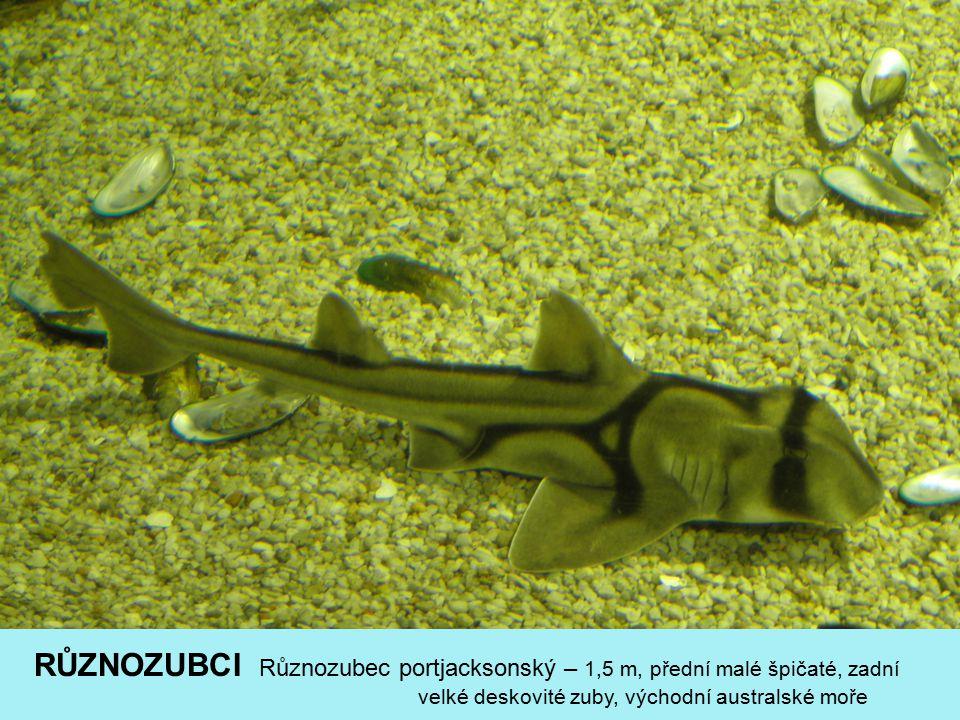 MALOTLAMCI Žralok obrovský – 18m,12t (nejv.p.), planktonofág (přes ž.obl.), epipelagik