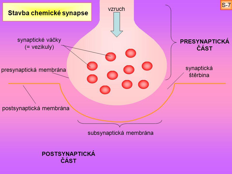 Stavba chemické synapse PRESYNAPTICKÁ ČÁST POSTSYNAPTICKÁ ČÁST synaptické váčky (= vezikuly) postsynaptická membrána synaptická štěrbina subsynaptická