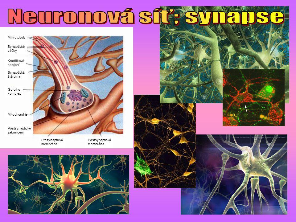 Presynaptická membrána Postsynaptická membrána Golgiho komplex Mitochondrie Synaptická štěrbina Synaptické váčky Mikrotubuly Knoflíkové spojení Postsy
