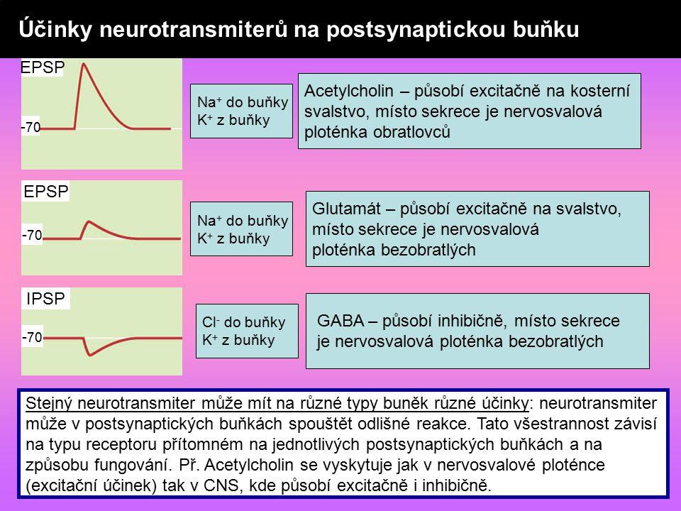- 70 EPSP - 70 IPSP Acetylcholin – působí excitačně na kosterní svalstvo, místo sekrece je nervosvalová ploténka obratlovců Na + do buňky K + z buňky