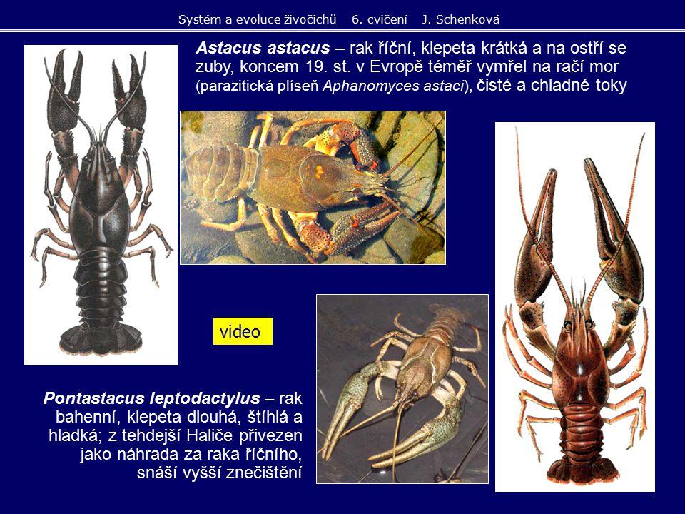 Astacus astacus – rak říční, klepeta krátká a na ostří se zuby, koncem 19. st. v Evropě téměř vymřel na račí mor (parazitická plíseň Aphanomyces astac