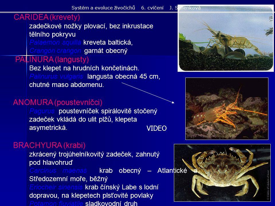 CARIDEA (krevety) zadečkové nožky plovací, bez inkrustace tělního pokryvu Palaemon squilla kreveta baltická, Crangoncrangon garnát obecný PALINURA (la