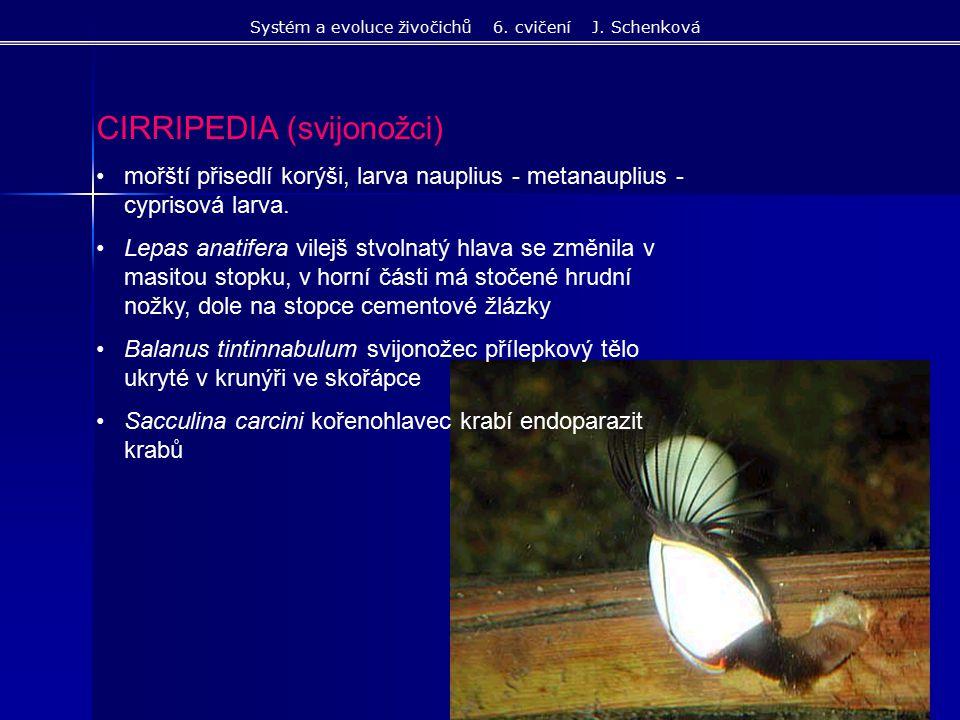 CIRRIPEDIA (svijonožci) mořští přisedlí korýši, larva nauplius - metanauplius - cyprisová larva. Lepas anatifera vilejš stvolnatý hlava se změnila v m