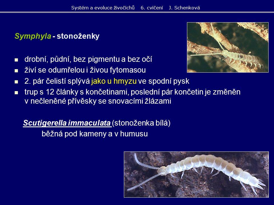 drobní, půdní, vysávají mycelia nižších hub trojvětevná tykadla, bez očí pouze 1 pár kusadel a nepárové gnatochilarium (= zadní okraj ústní dutiny), čelisti chybí hřbetní štítky splývají po 2, tělo s 9 - 11 články s končetinami bez dýchací a cévní soustavy Pauropus huxleyi (drobnuška bledá) Pauropoda - drobnušky Systém a evoluce živočichů 6.